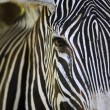 Zebra — Stock Photo #6194531