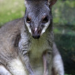 Australian Kangaroo - Stock Photo