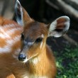 Stock Photo: Young fawn