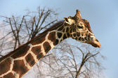 Smutný žirafa — Stock fotografie