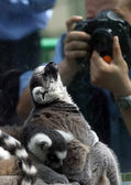 Lemur and the photographer — Stock Photo