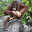 Young orangutan — Stock Photo