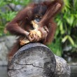 Young orangutan - Stock Photo