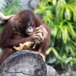 Young orangutan - 