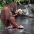 Young orangutan — Foto Stock