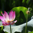 Stock Photo: Pink water lilly