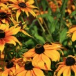 Black Eye Susan Daisy — Stock Photo