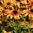 Black Eye Susan Daisy - Stock Photo