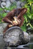 Mladý orangutan — Stock fotografie