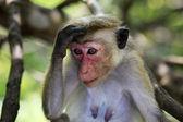 Porträtt av apan — Stockfoto