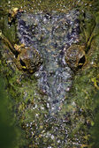 глаз крокодила — Стоковое фото