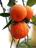 Branche d'oranger — Photo