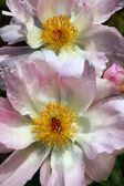 Peony flowers — Стоковое фото