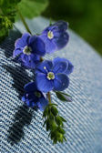 Small dark blue flowers — Stock Photo