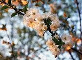 Flower of cherry — Stock Photo