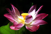 Roze water lilly — Stockfoto