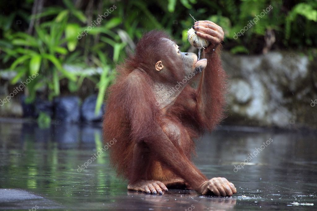 Young orangutan with a nut of a coco. Bali zoo. Indonesia — Stock Photo #6205212
