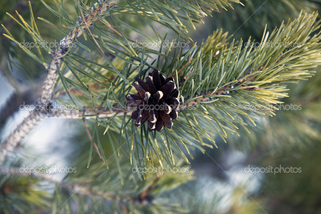 Fir-tree branches with cones  — 图库照片 #6209253