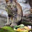Bali Cat — Stock Photo