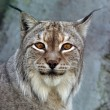 A lynx looking — Stock Photo