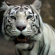 White tiger — Stock Photo #6211190