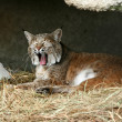 Yawning lynx — Stock Photo