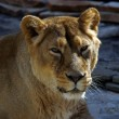 Lioness. Panthera leo - Stock Photo