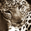 Leopard - Stock Photo