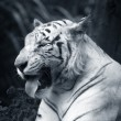 White tiger — Stock Photo #6211471