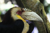 Wreathed Hornbill — Stock Photo
