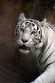Vit tiger — Stockfoto