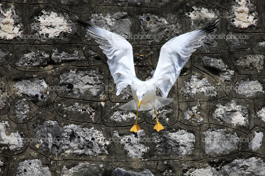 The big seagull flying up on a background of an old wall  Stock Photo #6211136