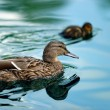 Ducks in a pond — Stock Photo