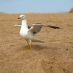 Seagull — Stock Photo #6231327