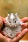 Small hamster - 7 — Stock Photo