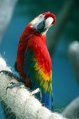 Parrot on a rope — Stock Photo