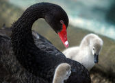 Swan with nestlings — Stock Photo