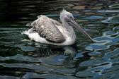Pelikan — Stock Photo