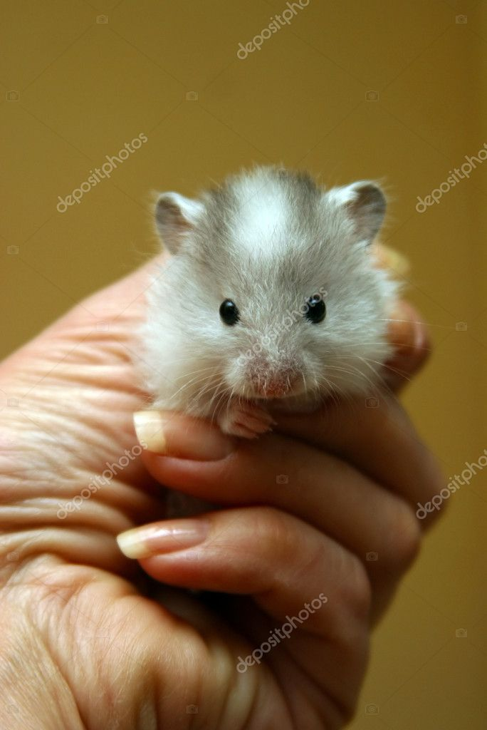 Small hamster in a female hand  Stock Photo #6231067