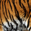 Sample of a tiger — Foto de Stock
