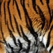 Sample of a tiger - Foto Stock