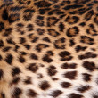 Skin of the leopard — Stock Photo #6248710