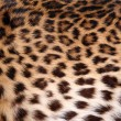 Skin of the leopard — Stock Photo