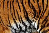 Sample of a tiger — Stock Photo