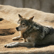 Steppe wolf — Stock Photo