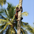 Stock Photo: The man on a palm tree