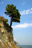 Pine at the edge of a rock — Stock Photo