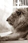 King - lion — Stock Photo