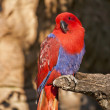 Stock Photo: View of colorful parrot eclectic