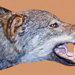 Wolf face — Stock Photo